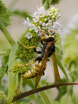Title: Vespid Wasp on Mint