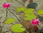 Title: Water Lillies
