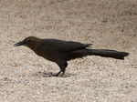 Title: Female Grackle