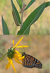 Title: Larva & Adult Monarch