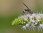Title: Wasp on Mint