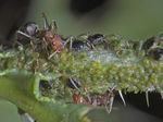 Title: Ants Tending Aphids