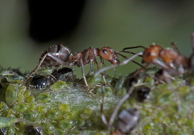 The Last of the Ants