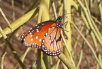 Title: Queen's Butterfly (Danaus glippilus)