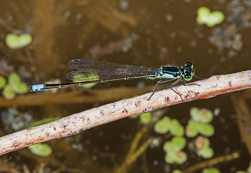 Yet Another Damsel Fly