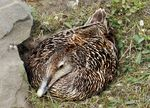 Title: Female Eider duck nesting