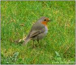 Title: The European Robin