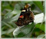 Title: The Red Admiral
