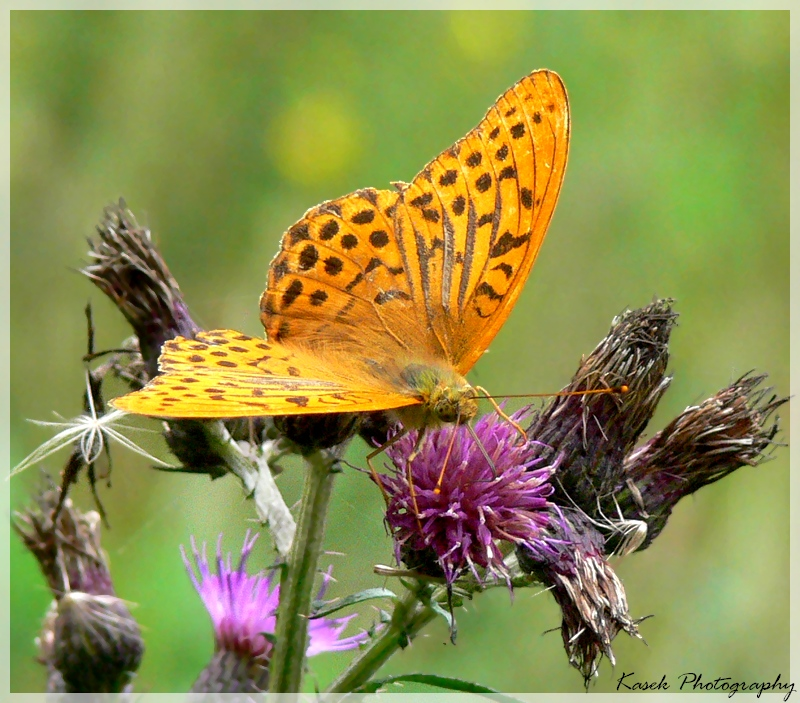 The Silver-washed Fritillary