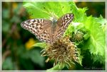 Title: The Silver-washed Fritillary