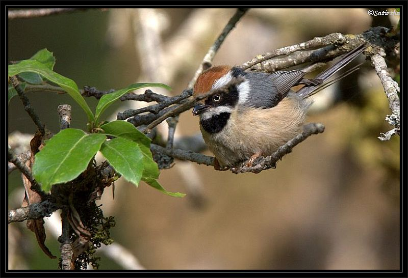 Black throated Tit