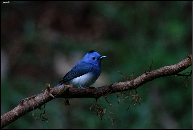 Black naped Monarch 2
