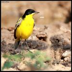 Title: Eastern Yellow Wagtail