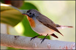 Title: Red Breasted Flycatcher