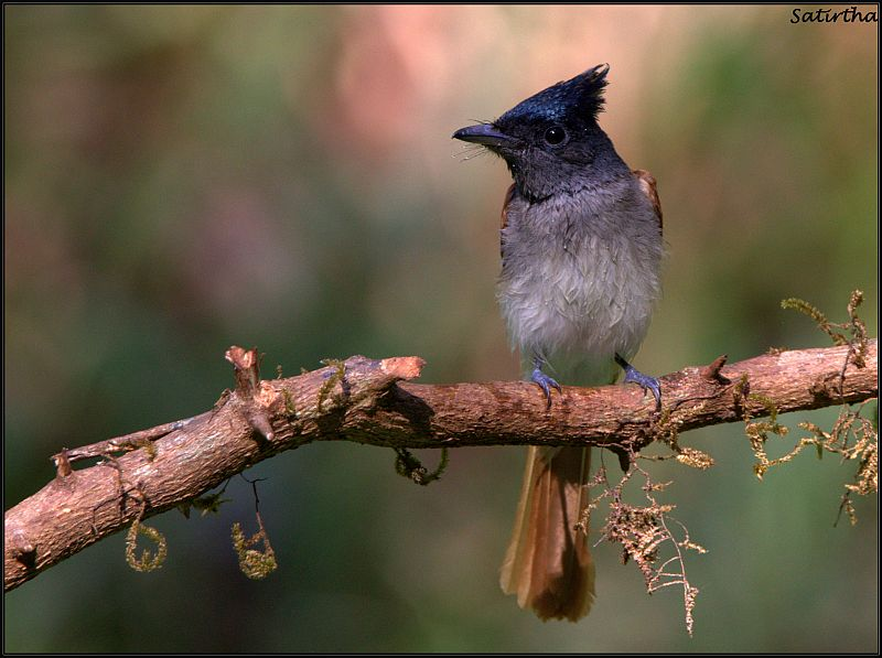 Asian Paradise Flycatcher (F)