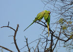 Title: Parakeets in conversation