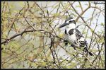 Title: Pied Kingfisher