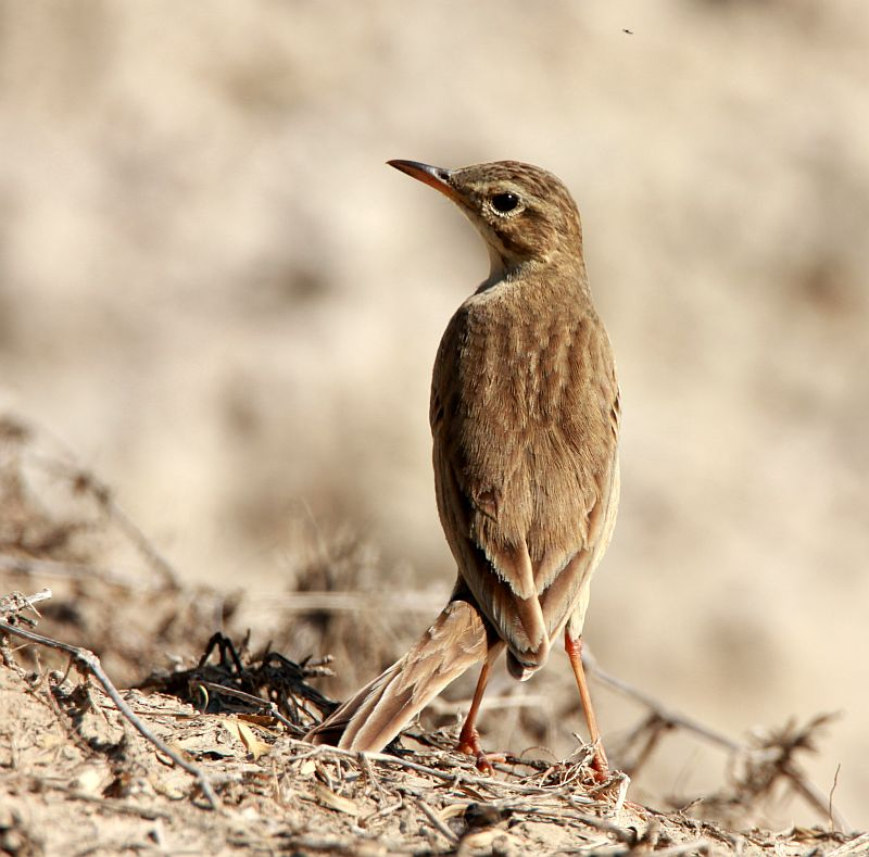 Indian Paddyfield Pipit
