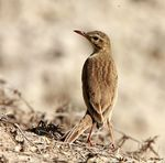 Title: Indian Paddyfield Pipit
