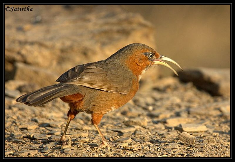 Rusty cheeked Scimitar Babbler