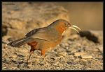 Title: Rusty cheeked Scimitar Babbler