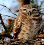 Title: Spotted Owl
