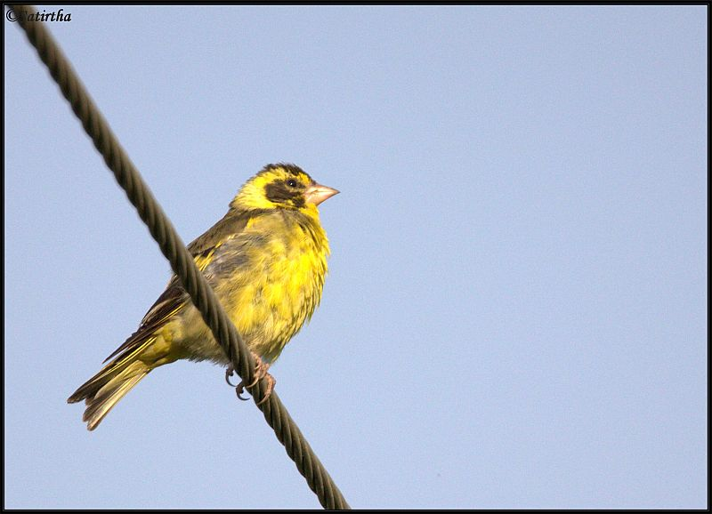Yellow breasted Greenfinch