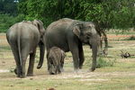 Title: Asian Elephant