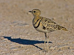 Title: Double-banded Courser