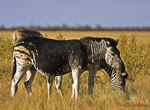 Title: My 50th - Etosha's Black Zebra