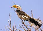 Title: Yellow-Billed hornbill