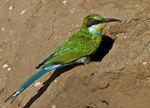Title: Swallow Tailed Bee-eater