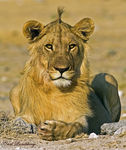 Title: African juvenile Male Lion 2