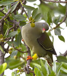 Title: African Green-Pigeon