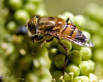 Title: Hover fly (Eristalis)