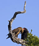 Title: Bateleur and Juvenile.