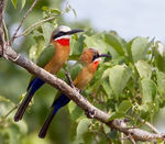 Title: White-fronted Bee-eaters