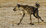 Title: Spotted Hyena 2Canon  7D