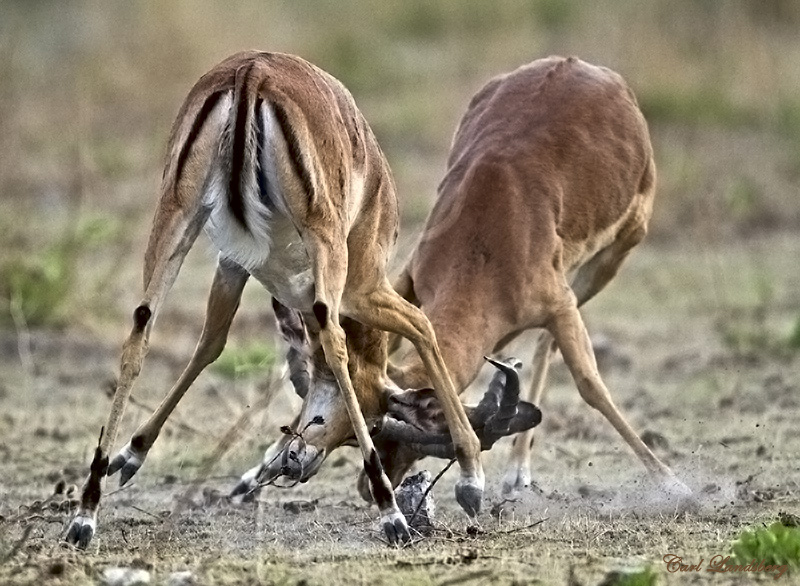 Black-faced Impala rams