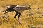 Title: Secretary Bird