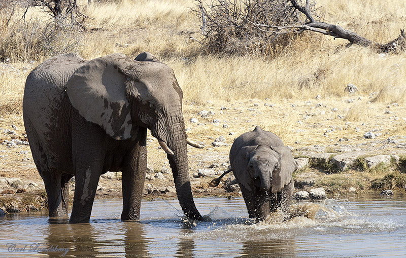 Etosha's Elepants trek from the North