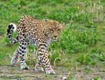 Title: Young African Leopard