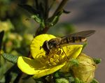 Title: Hoverfly again