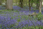 Title: Carpet of Bluebells