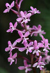 Title: Orchis brancifortii
