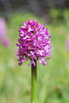 Title: Orchis purpurea x Orchis simia
