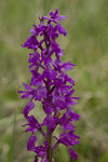 Title: Orchis ovalis