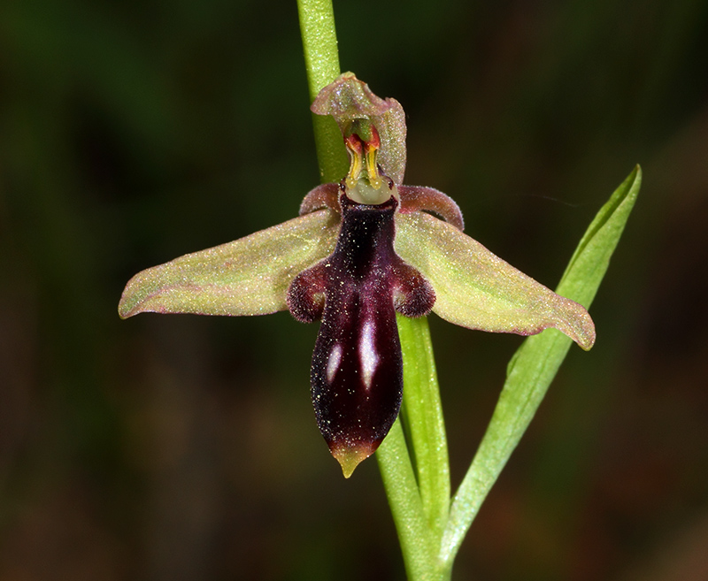 Ophrys cilicica