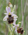 Title: Ophrys fuciflora