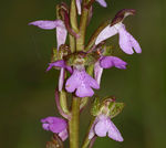 Title: Orchis spitzelli